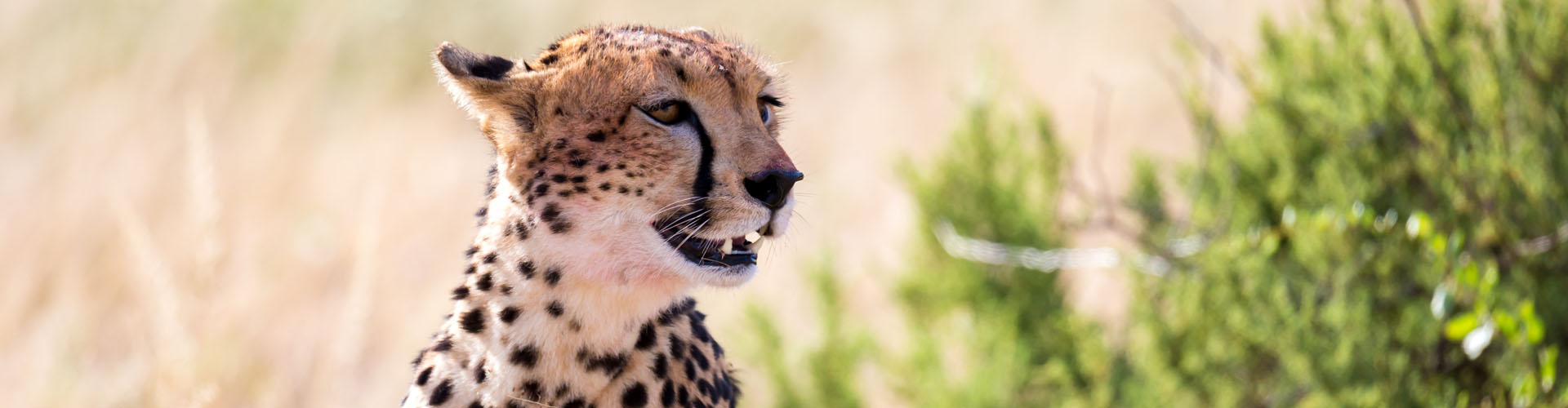 African Adventure Specialists - Cheetah in the Mara