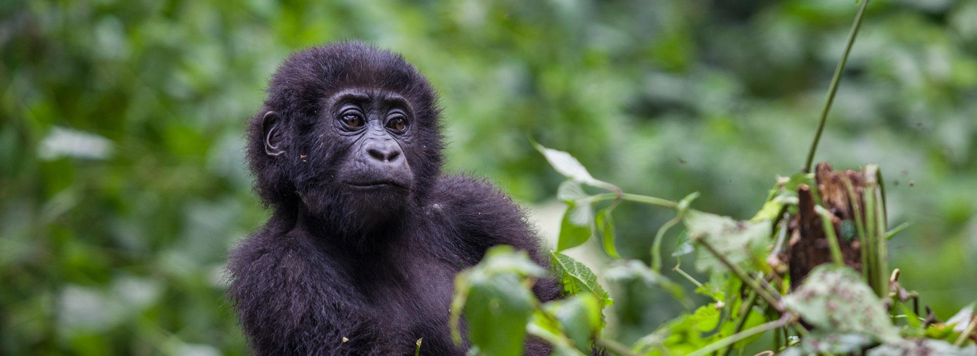 4 DAYS UGANDA GORILLA TREKKING - African Adventure Specialists