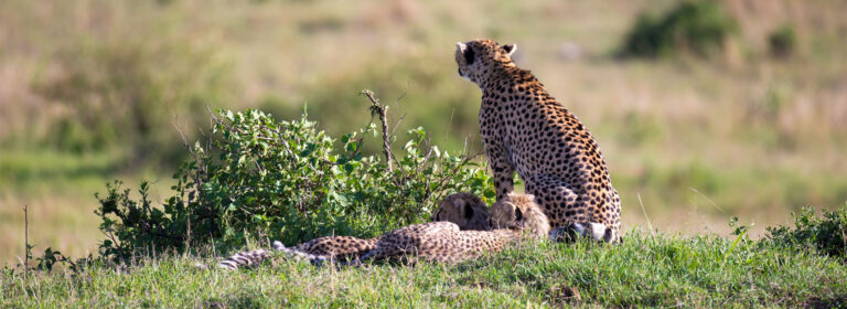 Cheetah at The Nairobi National Park Zebras at Meru National Park Top Destinations in Kenya - African Adventure Specialists