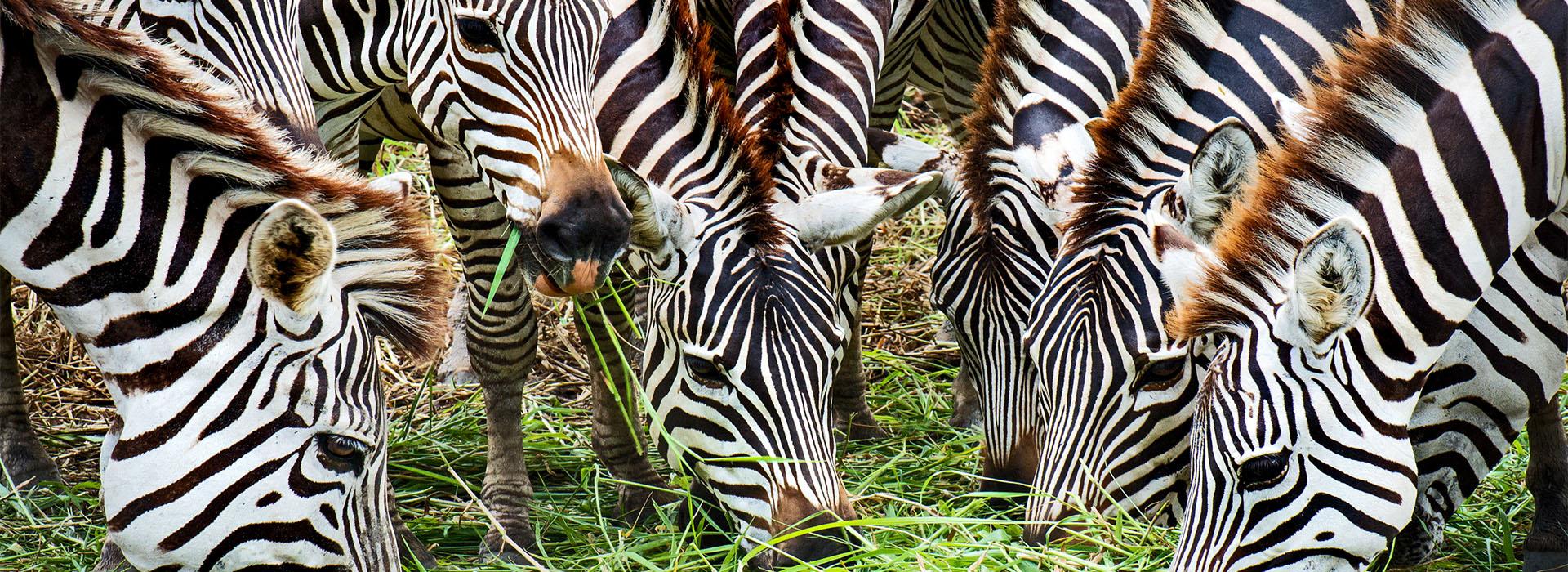 Zebras at Meru National Park Top Destinations in Kenya - African Adventure Specialists