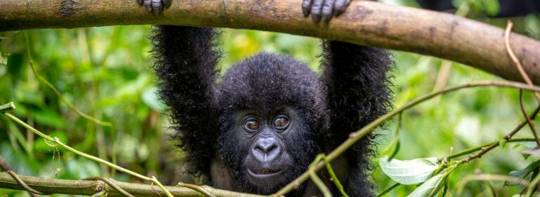 3 DAYS RWANDA GORILLA EXPERIENCE 2021 - African Adventure Specialists