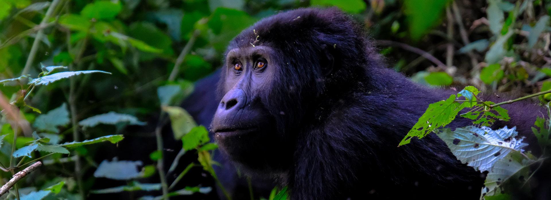 5 DAYS UGANDA DOUBLE GORILLA TREKKING - African Adventure Specialists
